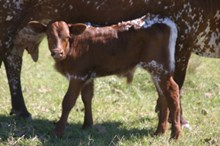 RJF RIVERFORK -Bull Calf -  TAG 308
