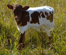 GLR LIBERTY X ECLIPSE bull calf