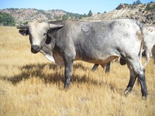 Saddlehorn x Red River Valley Bull